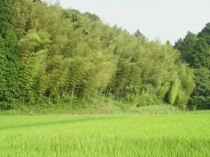 ニホンの竹林IMG_0865