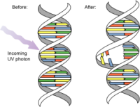 DNA_UV_mutation